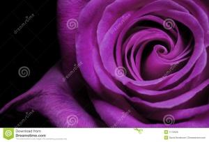 purple-rose-1112626
