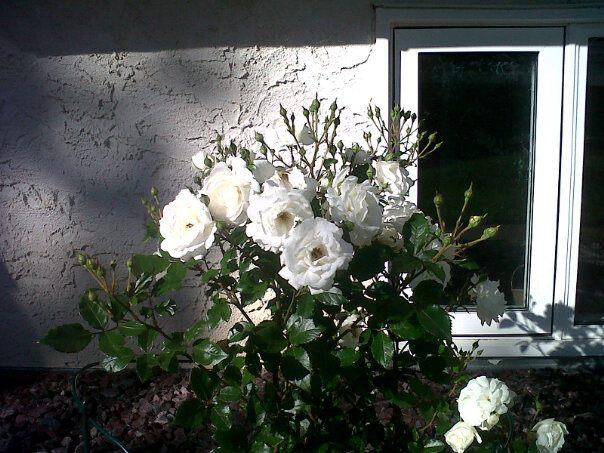 Magic Roses outside the Window