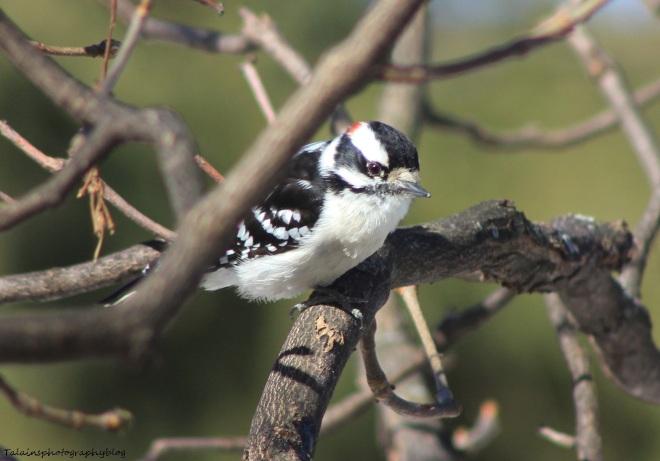 Woodpecker, Douny 006